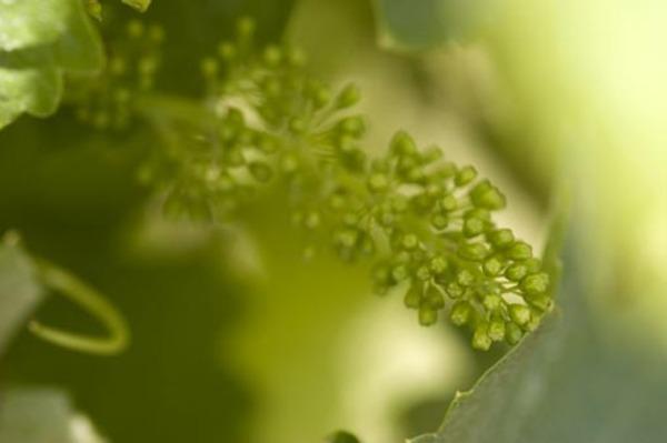 20070617_plant_grape_002