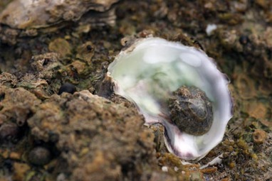 20070722_iledere_oysters004