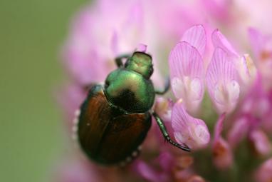 Bugs_2_japanese_beetle